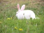 Schutzimpfung beim Kaninchen